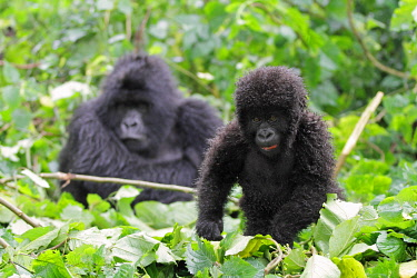 RW1212 Young mountain gorilla watched by its mother, Kwitonda Group, Mt Gahinga, Volcanoes National park, Rwanda.