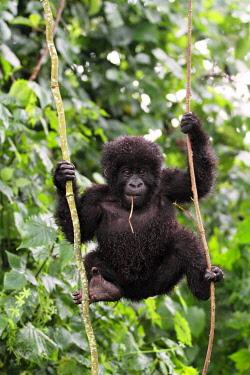 RW1214 Young mountain gorilla swinging on vines, Kwitonda Group, Mt Gahinga, Volcanoes National park, Rwanda.