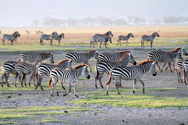 TZ3269 Herd of plains zebra, Ngorongoro Crater, Tanzania