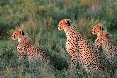 TZ3288 Cheetah and cubs on the short-grass plains of the Ndutu region, Serengeti National Park, Tanzania.
