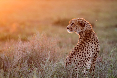 TZ3289 Adult female cheetah bathed in early evening light on the short-grass plains of the Ndutu region, Serengeti National Park, Tanzania.