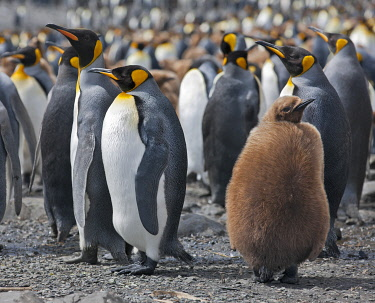 SGR0442 King penguins and an unfledged chick in down feathers at Right Whale Bay near the northeast tip of South Georgia.