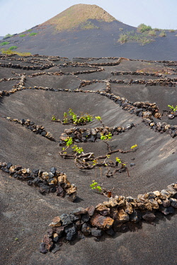 SPA4154 Vineyards in La Geria, Lanzarote Island. Belongs to the Canary Islands and its formation is due to recent volcanic activities. Spain. In  La Geria the wines are produced in full volcanic ash. A produc...