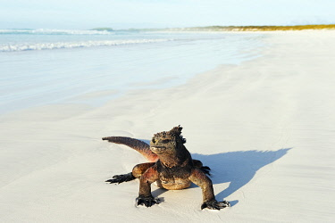 GAL0168 South America, Ecuador, Galapagos Islands, Isla Santa Cruz, Unesco site, Marine Iguana,  Amblyrhynchus cristatus, Turtle Bay