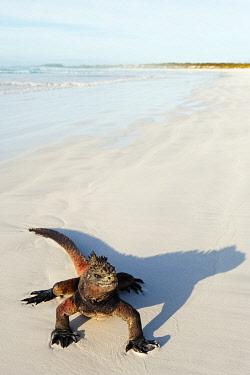 GAL0169 South America, Ecuador, Galapagos Islands, Isla Santa Cruz, Unesco site, Marine Iguana,  Amblyrhynchus cristatus, Turtle Bay