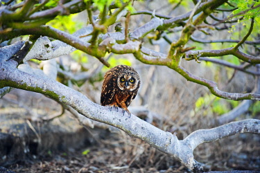 GAL0171 South America, Ecuador, Galapagos Islands, Isla Genovesas, Unesco site, Short-eared owl, asio flames