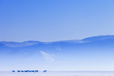 MON1258AW Mongolia, Ovorkhangai, Orkkhon Valley. Horses in the winter landscape.