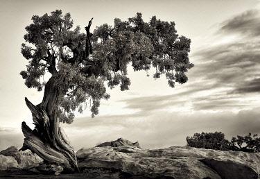 USA8184AW U.S.A., Utah, Dead Horse State Park, Juniper Tree.