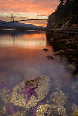 CN02_PCL0087_M Purple sea star, Asterias ochracea, and Lions Gate Bridge, Stanley Park, British Columbia, Canada