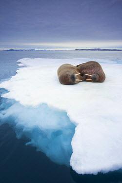 EU21_PSO0044_M Norway, Svalbard, Walrus (Odobenus rosmarus) on sea ice near  Lagoya Island