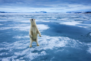 EU21_PSO0068_M Norway, Svalbard, Nordaustlandet, Curious Polar Bear (Ursus maritimus) standing upright on ice at Sabinebukta Bay at Irminger Point