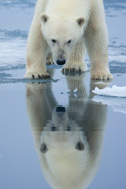EU21_PSO0079_M Norway, Svalbard, Nordaustlandet, Polar Bear (Ursus maritimus) reflected in meltwater pond on fjord ice at Sabinebukta Bay