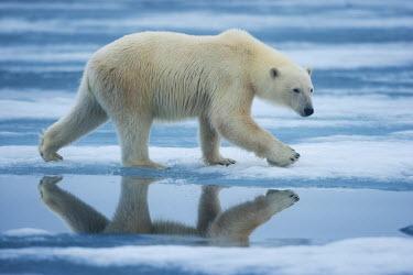 EU21_PSO0086_M Norway, Svalbard, Nordaustlandet, Polar Bear (Ursus maritimus) walking across melting fjord ice in Sabinebukta Bay