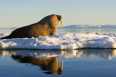 EU21_PSO0226_M Norway, Svalbard, Edgeoya Island, Walrus (Odobenus rosmarus) on sea ice near Kapp Lee in midnight sun