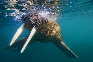 EU21_PSO0486_M Norway, Svalbard, Tiholmane Islands, Underwater view of Walrus (Odobenus rosmarus) swimming