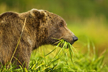 US02_PSO1257_M USA, Alaska, Katmai National Park, Grizzly Bear (Ursus arctos) feeding on green grass in coastal meadow along Kukak Bay