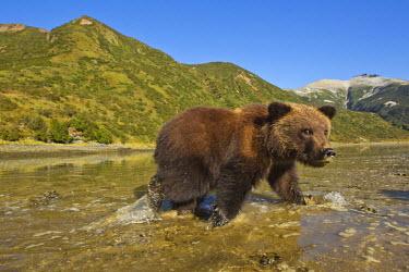 US02_PSO1333_M USA, Alaska, Katmai National Park, Grizzly Bear Spring Cub (Ursus arctos) walking on tidal flats along Kinak Bay on autumn morning