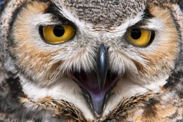 US03_DGI0042_M United States, Arizona, Tucson, Arizona-Sonora Desert Museum. Great horned owl (bubo virginianus) headshot closeup, captive.