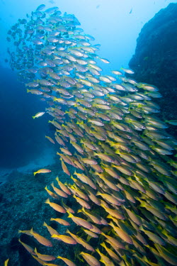AF30_PSO0003_M Africa, Mozambique, Guinjata Bay, Jangamo Beach, Underwater view of schools of tropical fish at Manta Reef