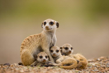 AF31_PSO0143_M Africa, Namibia, Keetmanshoop, Adult Meerkat  with pups (Suricate suricatta)  resting outside burrow in Namib Desert