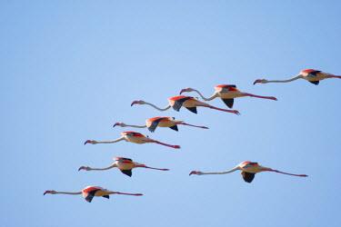 AF31_PSO0181_M Africa, Namibia, Skeleton Coast Wilderness, Flock of Lesser Flamingoes (Phoeniconaias minor) in flight above Huab Lagoon along Atlantic Ocean