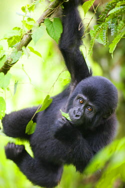 AF48_PSO0069_M Uganda, Bwindi Impenetrable National Park, Baby Mountain Gorilla (Gorilla gorilla beringei) hangs from vine while playing in rainforest