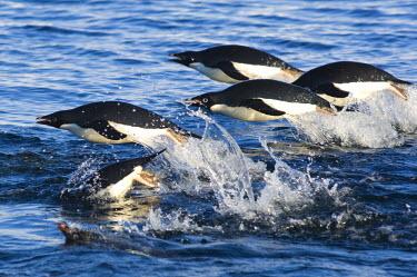 AN02_DGI0066_M Antarctica, Ross Sea. Adelie Penguins (Pygoscelis adeliae) porpoising.
