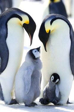 AN02_DGI0091_M Antarctica, Snow Hill Island, Emperor Penguin (Aptenodytes forsteri) family.