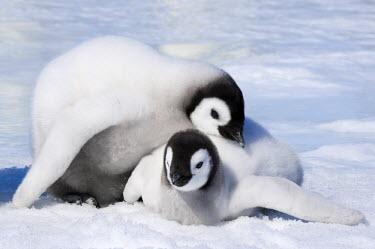 AN02_DGI0116_M Antarctica, Snow Hill Island, Emperor Penguin chicks  (Aptenodytes forsteri) playing.