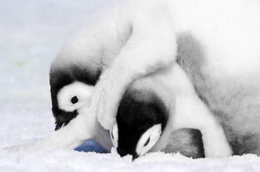 AN02_DGI0119_M Antarctica, Snow Hill Island, Emperor Penguin chicks  (Aptenodytes forsteri) playing.