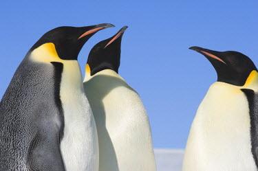 AN02_DGI0120_M Antarctica, Snow Hill Island, Adult emperor penguins (Aptenodytes forsteri) in group.