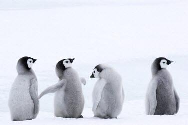 AN02_DGI0157_M Antarctica, Snow Hill Island, Emperor Penguin chicks  (Aptenodytes forsteri) standing in a row.