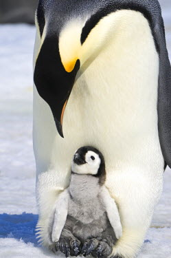 AN02_DGI0168_M Antarctica, Snow Hill Island, Emperor Penguin chick (Aptenodytes forsteri) sitting on parents feet.