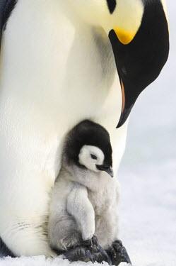AN02_DGI0170_M Antarctica, Snow Hill Island, Emperor Penguin chick (Aptenodytes forsteri) sitting on parents feet.
