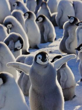 AN02_KSU0049_M Emperor Penguin chicks on ice, Snow Hill Island, Antarctica