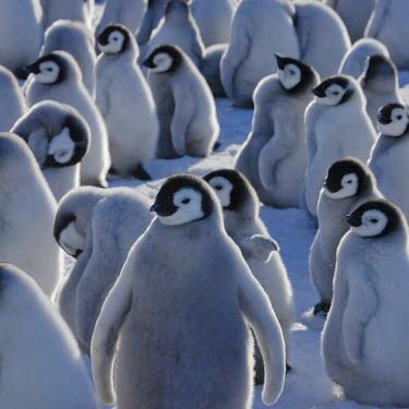 AN02_KSU0050_M Emperor Penguin chicks on ice, Snow Hill Island, Antarctica