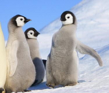 AN02_KSU0087_M Emperor Penguin parents with chicks on ice, Snow Hill Island, Antarctica