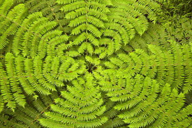 AU02_DWA6563_M Tree fern, A.H. Reed Memorial Kauri Park, Whangarei, Northland, North Island, New Zealand