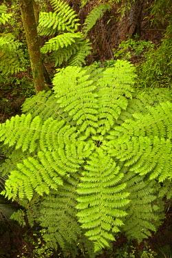 AU02_DWA6564_M Tree fern, A.H. Reed Memorial Kauri Park, Whangarei, Northland, North Island, New Zealand