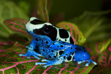 SA18_BJA0003_M South America, Surinam. Close-up of Patricia poison dart frog