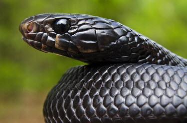 US11_POX0100_M Eastern Indigo Snake (Drymarchon couperi) Juvenile CAPTIVE The Orianne Indigo Snake Preserve Telfair County, Georgia USA