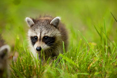 US21_PSO0001_M USA, Maryland, Assateague Island National Seashore, Young Raccoon (Procyon lotor) walking in grass