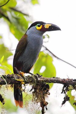 ECU1191 Plate-billed mountain toucan, Bellavista cloudforest, Ecuador