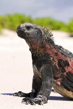 ECU1196 Marine iguana on the beach at Gardner Bay, Espanola, Galapagos Islands, Ecuador