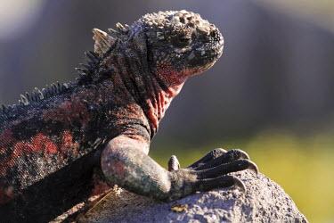 ECU1200 Marine iguana basking on a rock, Punta Suarez, Espanola, Galapagos Islands, Ecuador