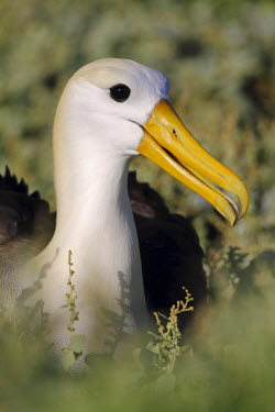 ECU1201 Waved albatross on nest, Punta Suarez, Galapagos Islands, Ecuador