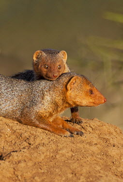 KEN7886 Dwarf mongooses bask in the late afternoon sun on top of a termite mound at Amboseli.