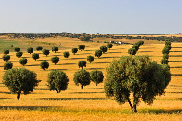POR6855AW Olive groves and harvest of wheat near Serpa. Alentejo, Portugal