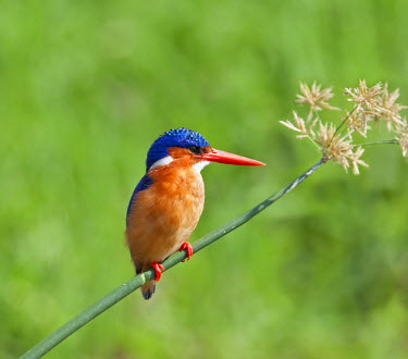 UGA1296 A beautiful Malachite Kingfisher perched on a reed beside the Kazinga Channel in Queen Elizabeth National Park, Uganda, Africa