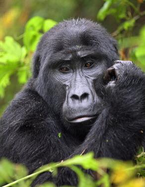UGA1349 A Mountain Gorilla of the Nshongi Group in the Bwindi Impenetrable Forest of Southwest Uganda, Africa